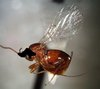 ...StarStruck: Species Named After Celebrities - Elvis Presley gall wasp (Preseucoila imallshookupi