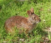 ...StarStruck: Species Named After Celebrities - Hugh Heffner marsh rabbit (Sylvilagus palustris he