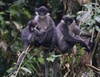 ...Monkey Feared Extinct Rediscovered - Miller's grizzled langurs (Presbytis hosei canicrus) [Lives
