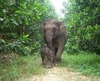 Sumatran Elephants Pushed Toward Extinction [LiveScience 2012-01-24]
