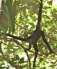 ...Near-Extinct Spider Monkey Spotted - Brown Spider Monkey, Ateles hybridus brunneus [LiveScience