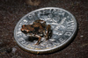 Life in Leaf Litter: Finding Tiny Frogs [LiveScience 2012-02-01]