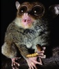 World's Highest-Pitched Primate Calls Out Like a Bat [LiveScience 2012-02-07]