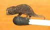 World's Tiniest Chameleon Discovered [LiveScience 2012-02-14]