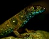 ...New Colorful Lizard Surprises Scientists in Andes - Potamites montanicola [LiveScience 2012-02-2