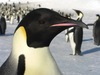 Happy Feet: A Gallery of Pudgy Penguins - Emperor penguin [LiveScience 2012-02-27]