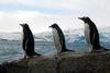 Happy Feet: A Gallery of Pudgy Penguins - Gentoo penguin [LiveScience 2012-02-27]
