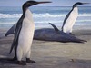 ...Big Bird: Fossils of World's Tallest Penguin Discovered - Giant Penguin (Kairuku grebneffi) [Liv
