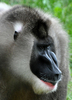 Exotic Monkey Is Extra Sensitive to Warming [LiveScience 2012-03-05]