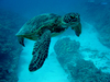 Sea Turtles Make Surprising Migration When Young [LiveScience 2012-03-05]
