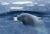 Antarctic Blue Whale Set to Make Big Comeback [LiveScience 2012-03-07]