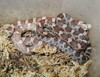 hypomelanistic, lavender, and normal cornsnake (hatchlings)