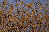 Monarch Butterfly Numbers Take a Hit [LiveScience 2012-03-16]