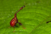...In Photos: The Wacky Animals of Madagascar - Giraffe weevil (Trachelophorus giraffa) [LiveScienc
