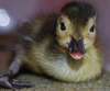 ...Earth's Rarest Ducklings Quackin' Cute - Madagascar Pochard (Aythya innotata) [Discovery-News 20