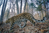 Gallery: Rare and Beautiful Amur Leopards [LiveScience 2012-04-10]