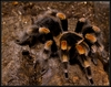 Skin Shedders: A Gallery of Creatures That Molt - Tarantula [LiveScience 2012-04-10]