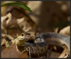 ...Skin Shedders: A Gallery of Creatures That Molt - Common Garter Snake (Thamnophis sirtalis) [Liv