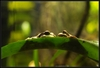 ...Skin Shedders: A Gallery of Creatures That Molt - Amazon Milk Frog (Trachycephalus resinifictrix