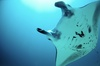 Baby Manta Rays 'Breathe' In Utero [LiveScience 2012-06-05]