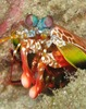 ...Gallery: Magnificent Mantis Shrimp - Peacock Mantis Shrimp (Odontodactylus scyllarus) [LiveScien