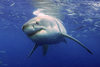Australia's Great White Sharks Always Go Home to Breed [LiveScience 2012-06-08]