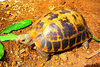 Elongated tortoise (Indotestudo elongata)