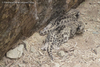 Snow Leopard Moms & Cubs Captured in First-Ever Video [LiveScience 2012-07-13]