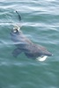Basking Shark Sightings on Rise in British Isles [LiveScience 2012-07-23]