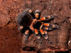 ...Creepy, Crawly & Incredible: Photos of Spiders - Mexican Red-knee (Brachypelma smithi) [LiveScie