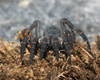 ...Creepy, Crawly & Incredible: Photos of Spiders - Trapdoor Spider (Liphistius dangrek) [LiveScien