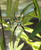 ...Creepy, Crawly & Incredible: Photos of Spiders - Orb Weaver Spider (Argiope sp.) [LiveScience 20