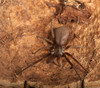 ...Creepy, Crawly & Incredible: Photos of Spiders - Southern House Spider (Kukulcania hibernalis) [