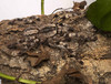 ...Creepy, Crawly & Incredible: Photos of Spiders - Indian Ornamental Tree Spider (Poecilotheria re