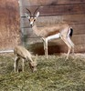 Endangered Gazelle Baby Born at Cleveland Zoo [LiveScience 2012-07-27]