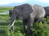 Secret to Elephants' Thundering Calls Discovered  [LiveScience 2012-08-02]