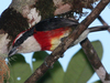 Bright New Bird Species Discovered in Peru [LiveScience 2012-08-06]