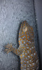 Geckos Lose Sticking Power With Wet Feet [LiveScience 2012-08-09]