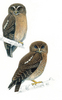 Who? Who? Two New Owl Species Discovered [LiveScience 2012-08-17]