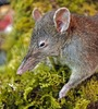 ...Gallery: New Long-Snouted Rat Without Back Teeth - Molarless shrew-rat, Paucidentomys vermidax [