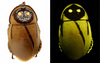 Look at This: Glowing South American Roaches Mimic Toxic Beetles [Discover-Magazine 2012-08-23]