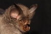 4 Freaky New Bat Species Discovered [LiveScience 2012-09-13]