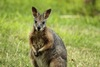 ...In Photos: The Peskiest Alien Mammals - Red-necked Wallaby (Macropus rufogriseus) [LiveScience 2