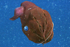 Vampire Squid Are Sea's Garbage Disposals [LiveScience 2012-09-25]