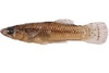 Yikes! This Fish Sports a Penis With 4 Hooks [LiveScience 2012-09-27]