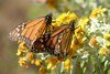 Butterflies' Astounding Tale Revealed in New 3D Movie [LiveScience 2012-09-28]