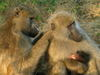 It Pays to Be a Nice Baboon [LiveScience 2012-10-01]