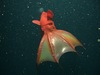 Gallery: Vampire Squid from Hell (Vampyroteuthis infernalis) [LiveScience 2012-10-02]