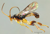 Scientists Find More Wasps That Eat Maggots from Inside Out [LiveScience 2012-10-03]
