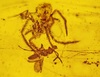 100-Million-Year-Old Spider Attack Found in Amber [LiveScience 2012-10-08]